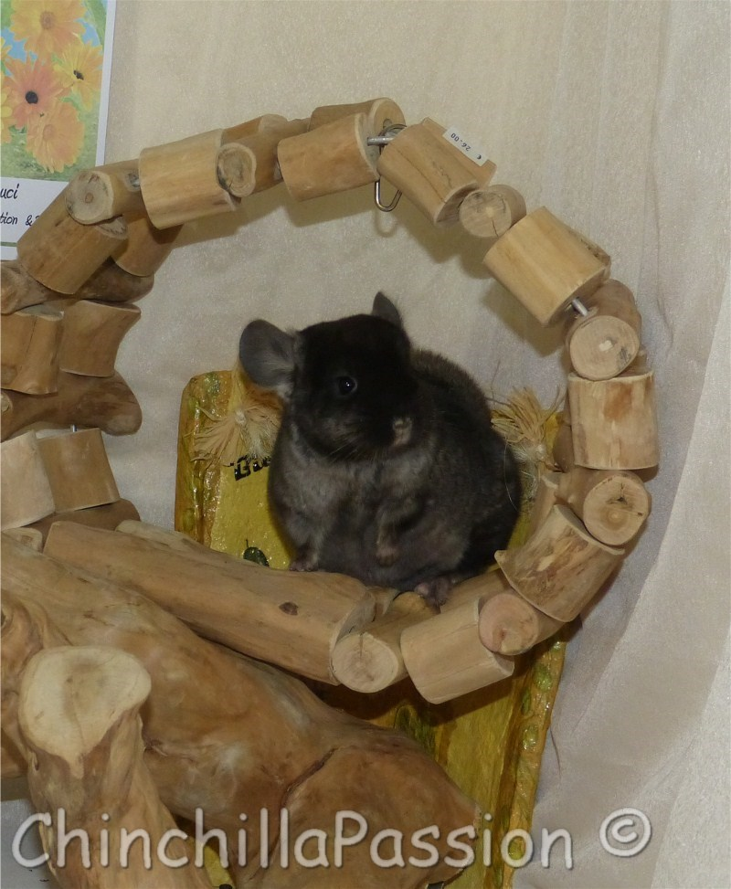 Chinchilla Ebony Velvet