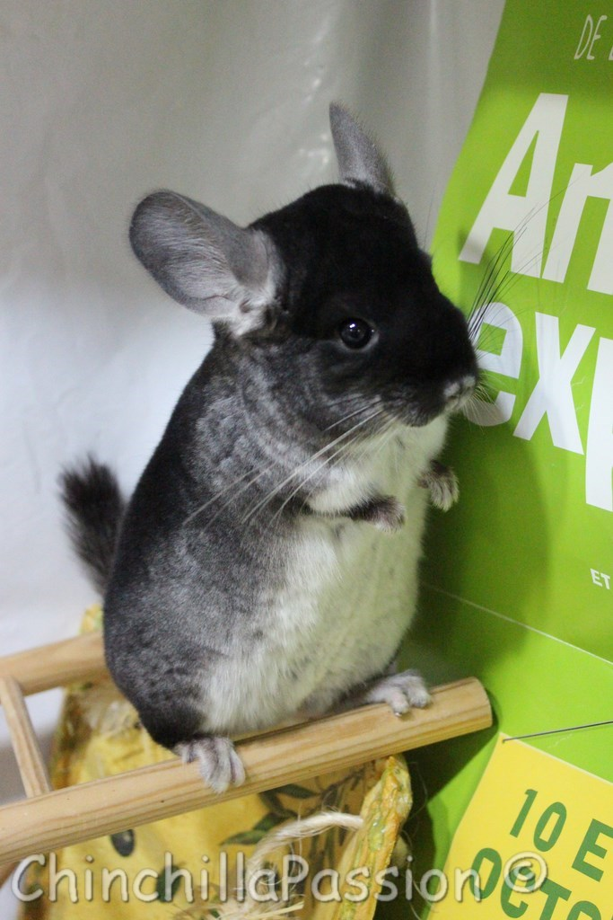 Chinchilla Black Velvet