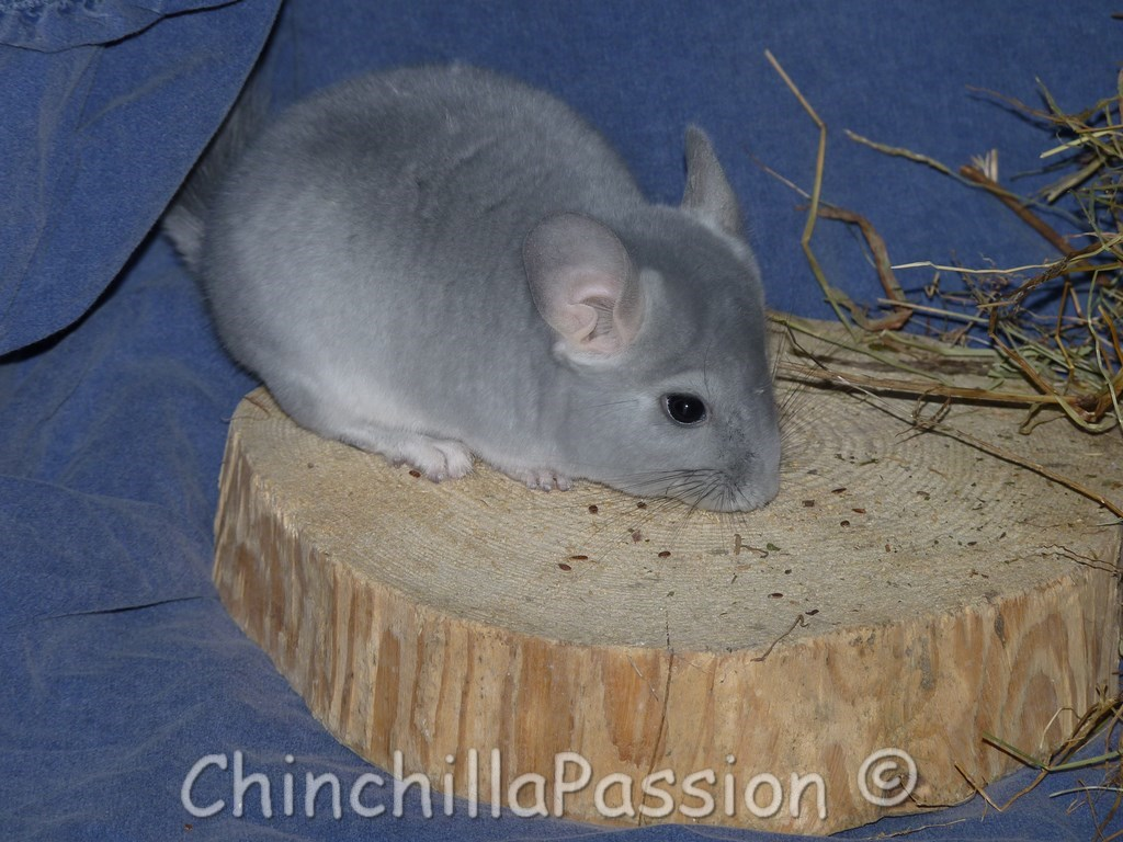 Chinchilla Diamant Bleu