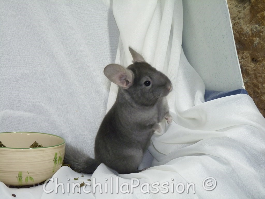 Chinchilla Saphir Ebony