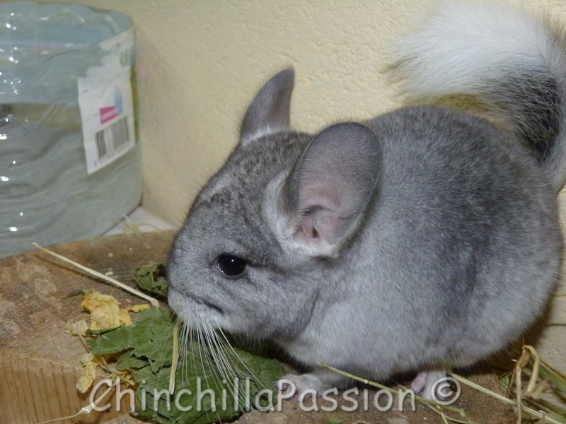 Chinchilla Wilson Ebony