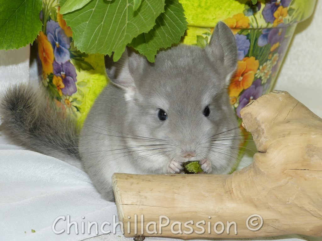 Chinchillas Violet