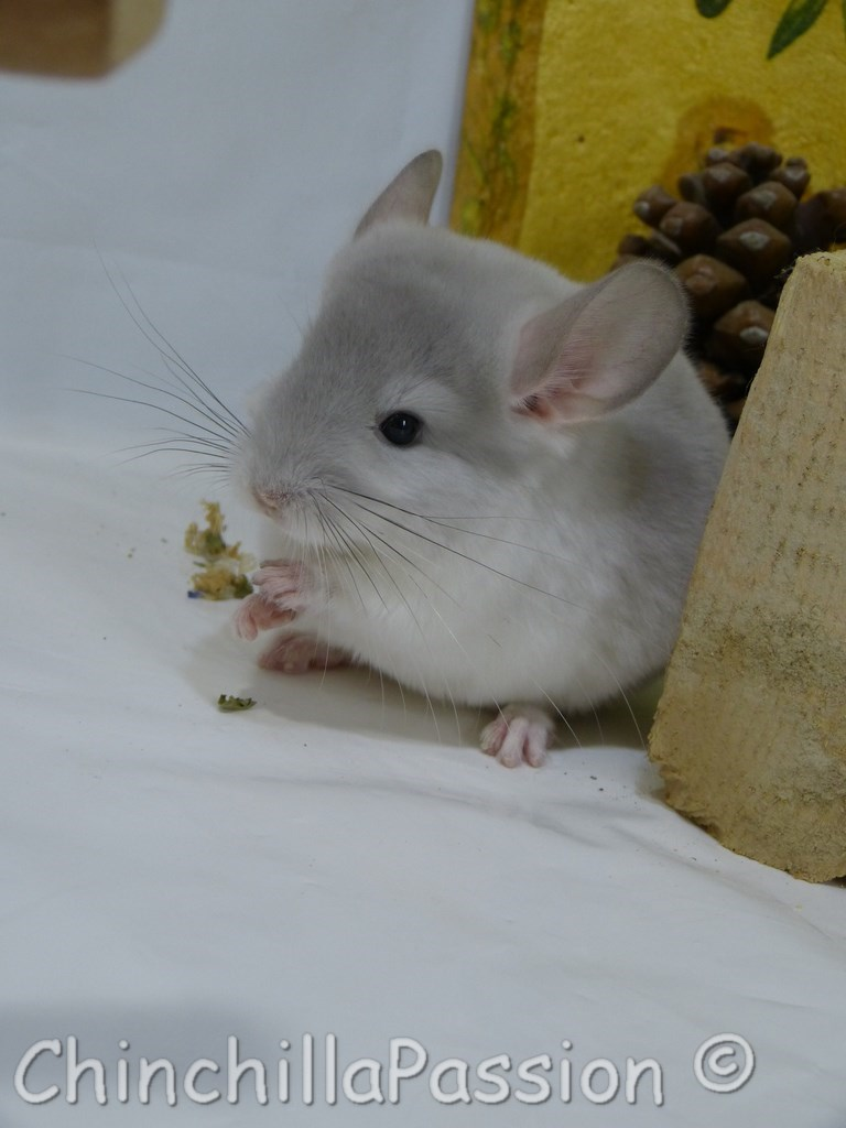 Chinchilla Wilson-Violet