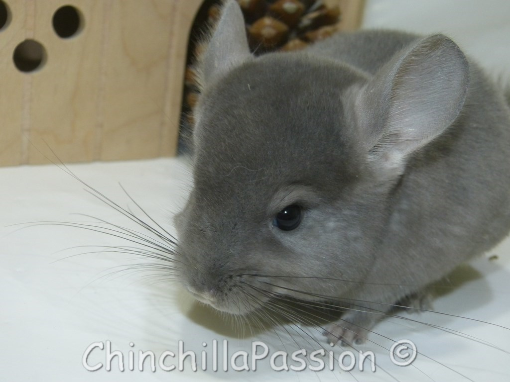 Chinchillas Ebony-Violet