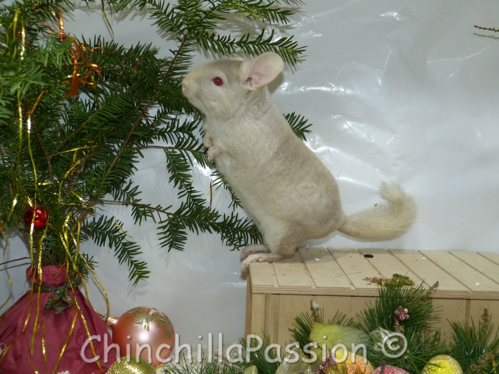 Chinchilla Blond