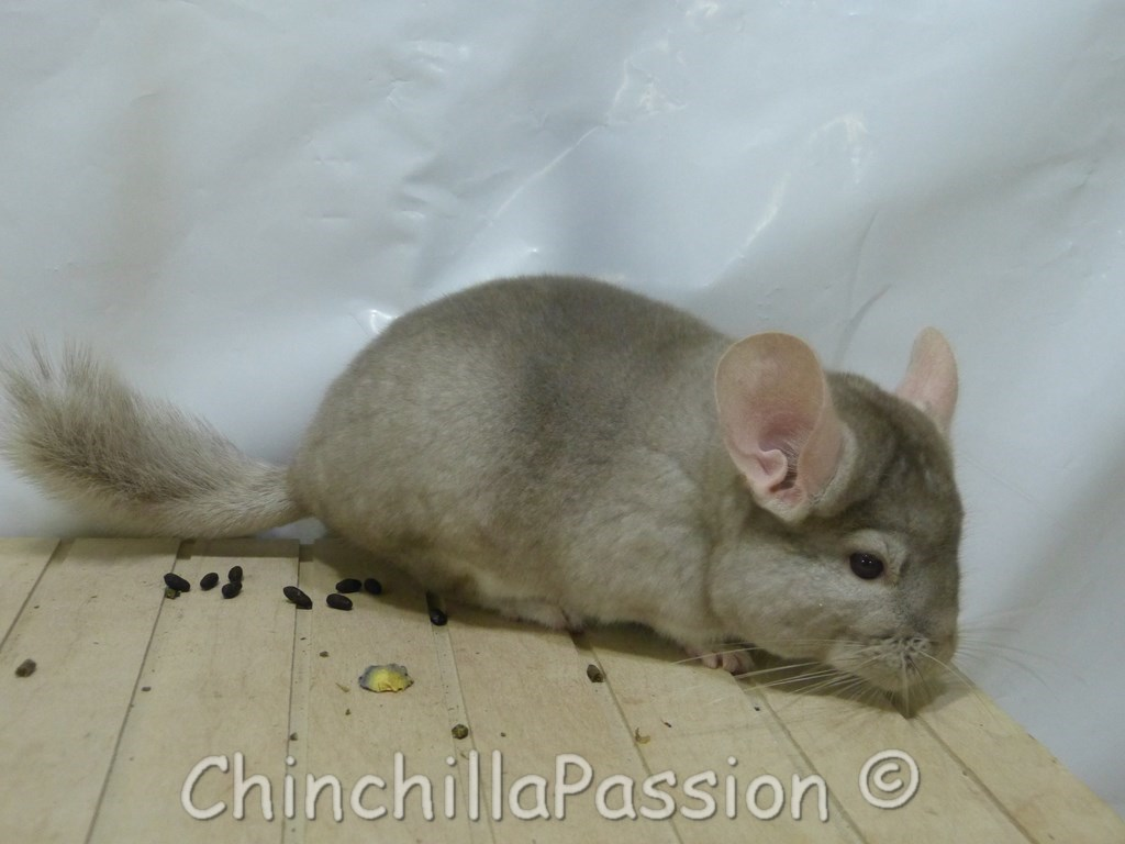 Chinchilla Beige Tower