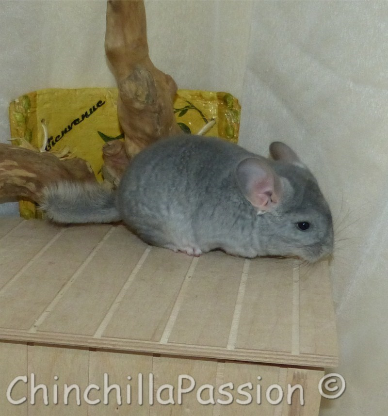 Chinchilla Saphir