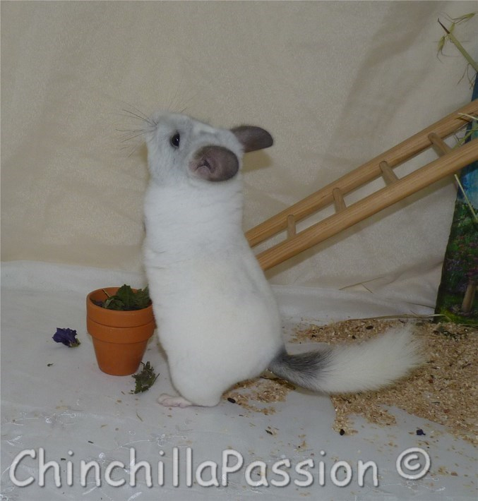 Chinchilla Blanc Wislon