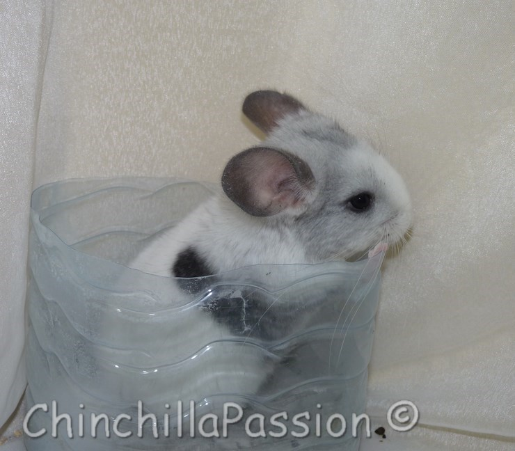 Chinchilla Wilson spoté