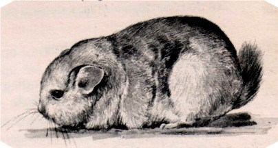 Classification chinchilla brécicaudata