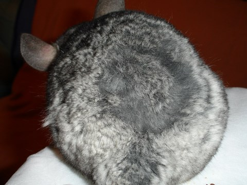 Fur-Chewing chinchilla
